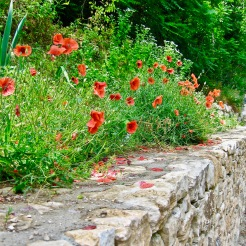 IMG_1040 Poppies